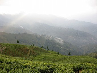 Rolling green hillsides of tea with fog and clouds
