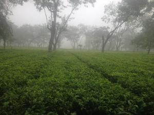 A misty tea garden with rows of tea plants disappearing into fog, amidst scattered trees