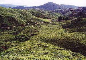 A tea plantation with very curvy hills