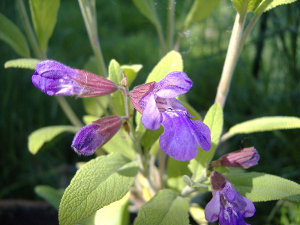 A common sage plant with pale green, oval leaves, and purple flowers