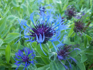 A cornflower plant in bloom, with vibrant blue blossoms