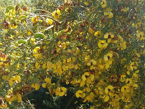 Bright yellow flowers with dark centers on a green plant