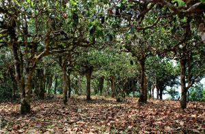 A canopy of large tea trees