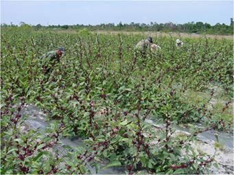 Hibiscus planted in rows, being harvested