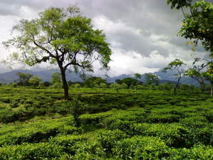 A tea garden with scattered trees and billowing clouds in the background