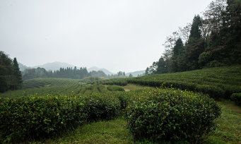 Rows of tea bushes with conifers in the background, obscured by mist