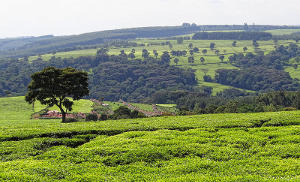 Tea fields in rolling hills with scattered trees