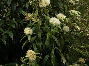 A dark green evergreen plant with white blooms