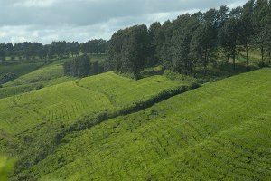 Fields of tea on a slope lined by rows of trees
