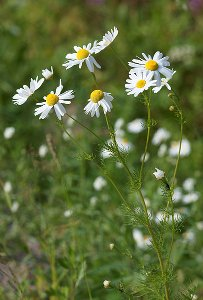 Chamomile flowers, white daisy-like flowers with yellow centers