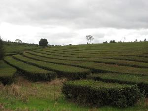 Gently arcing rows of tea plants under an overcast sky