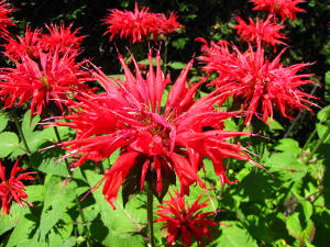 Vibrant spiky red flowers in bloom on a green herb, Monarda didyma