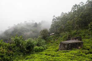 A misty hillside with tea growing on it, and trees