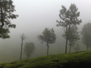 A tea garden on a hill, with dense fog and tall trees