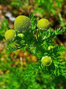 Pineapple weed, showing fine, fernlike leaves and a small, dense yellow compound flowerhead