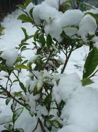 Snow-covered tea plant