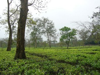 A tea garden with scattered trees