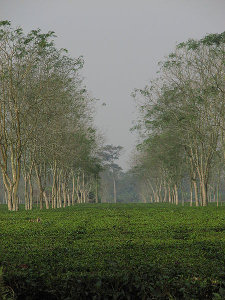 A garden of flat tea bushes lined with rows of taller trees