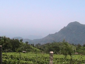 Tea gardens with a forested mountain in the background