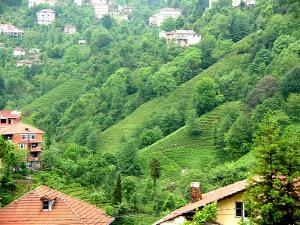 Tea gardens on a neat slope, interspersed with homes