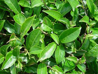 Tea Plant With Leaves