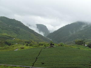 A tea plantation in the foreground, mountains covered in green, rising into clouds in the background .