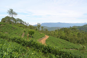 A tea plantation on a hillside with a dirt road down the middle