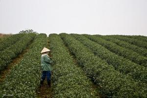 A worker with a hat standing in a field of tea plants planted in rows