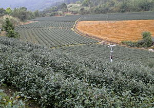 Tea plantation showing orderly rows in a crescent shape