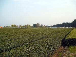 Flat, orderly fields of tea in rows, with a clear sky