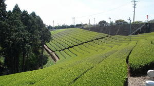 Fields of tea with a wall in the background and evergreen trees on the left