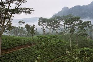 A tea plantation with scattered trees and fog in the background, and mountains rising behind them