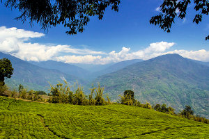 A tea garden with mountains in the background and white clouds in a blue sky, and overhanging trees