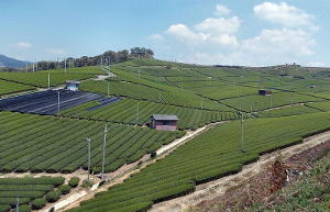 Orderly tea fields on a gently sloping hill with small structures interspersed