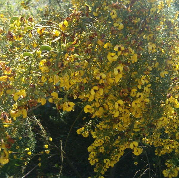 Spindly-looking plant covered in large yellow flowers with reddish-brown centers, a few green bean-like pods about