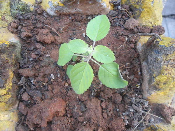 Small plant with opposite, oval-shaped, slightly serrated leaves, growing in exposed brown soil