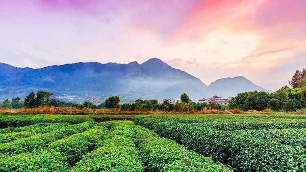 Flat tea fields with mountains in distance under striking pink-orange sky at twilight