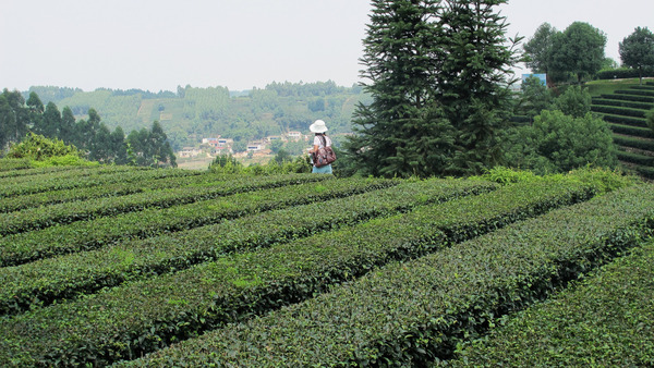Neat, flat-topped rows of tea bushes, person in background, and scattered trees, a few buildings visible in distance