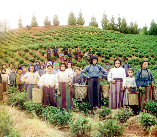 Very old photo of tea pickers in a fiield with baskets and skirts in colorful earth-tone stripes