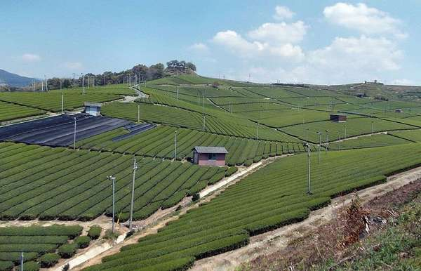 Sterile-looking landscape of tea bushes stretching over hillsides the whole way to the horizon