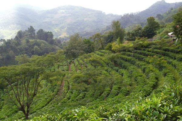 Gently curving plantation with rows of tea plants on hillside, misty hills and lush vegetation in distance