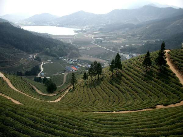 Dramatic downward-facing view of rows of tea on hillside with scattered pyramidal trees, flat valley below with a lake and mountains in the distance