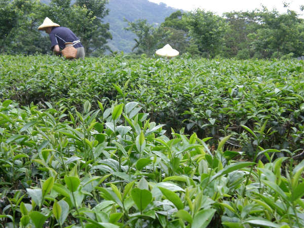 Low-down view of tea plantation, texture of plants visible in foreground, two people with pyramid-shaped hats in the field in background