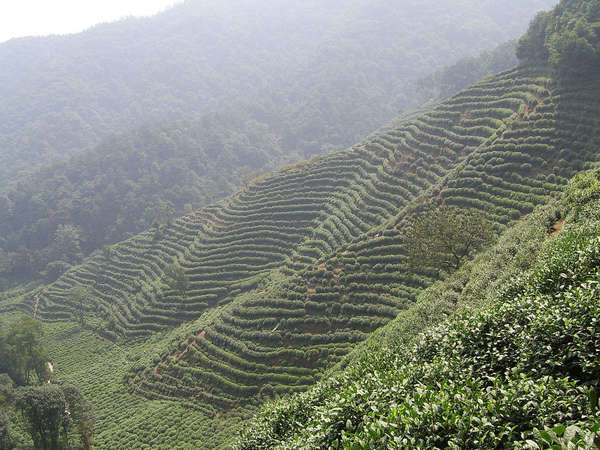Rows of bushes planted along a steep, misty hillside, forested hills in the background