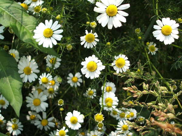 White flowers with big yellow centers, and very fine leaves, growing among other plants
