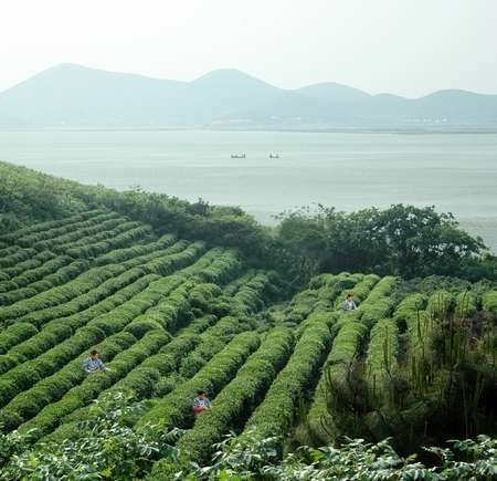 Rows of tea in a plantation next to a lake, mountains in the distance, tiny-looking people in the rows of tea