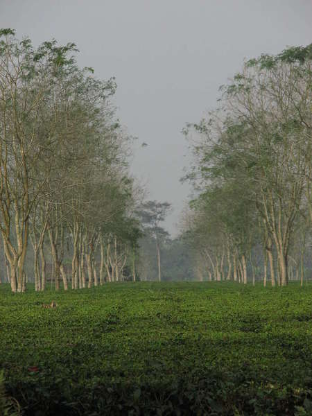 Dark-green tea plantation in a low, flat area, lined by a row of trees with gray trunks and sparse foliage, against a hazy sky