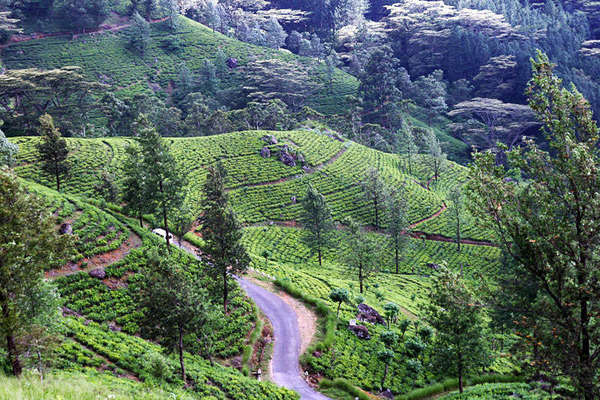 Rows of tea on a curvy hillside, a windy road traveling through them, numerous scattered trees