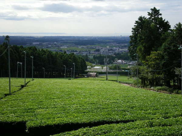 Field of tea bushes so flat-topped it looks like turf grass, looking gently downhill onto buildings and a row of trees in the distance