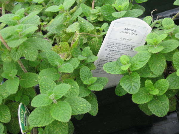 Mint plant with large, fuzzy, rounded leaves, with sign reading Mentha suavolescens